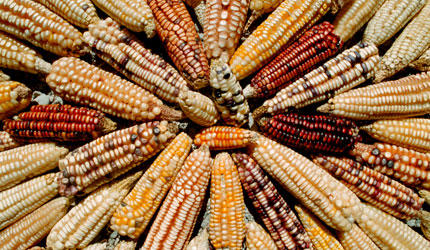 Agent orange tainted gm maize given green light in sa health sense maize voltagebd Image collections